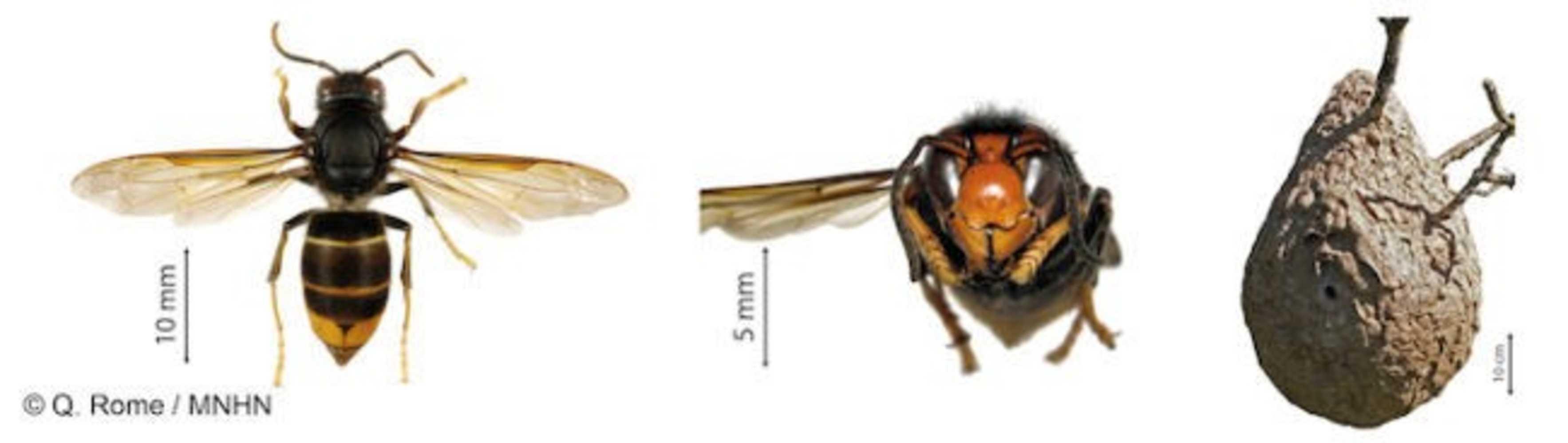 Le frelon asiatique frelonsasiatiques-2